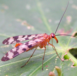 Ordre Mecoptera