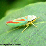 Famille Cicadellidae: Cicadelles
